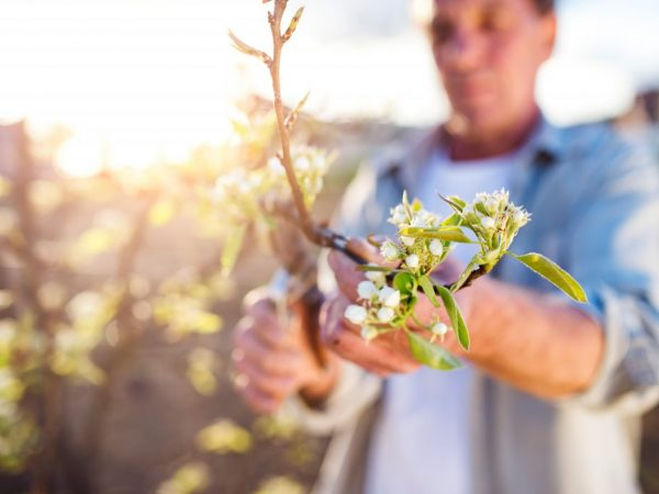 Как размножить яблоню — популярные способы