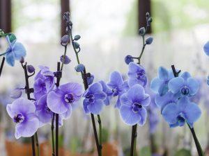 Синие орхидеи — правила ухода в домашних условиях