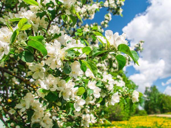 Пчелы опыляют яблоню от соседних деревьев