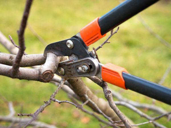 Схема обрезки зависит от возраста дерева