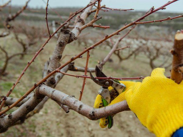 Омоложение повышает урожайность