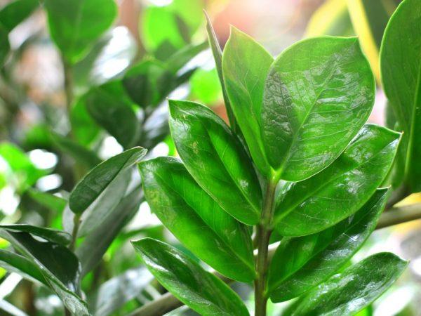 Для размножения подходят только здоровые листочки