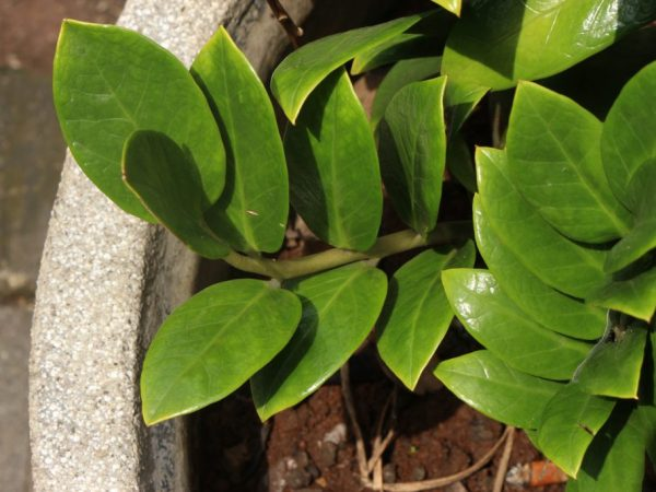 Подкормки улучшают декоративность растения