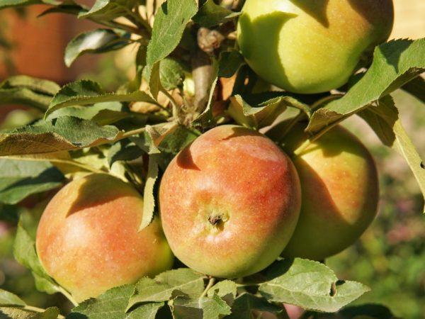 Плоды с отличным вкусом