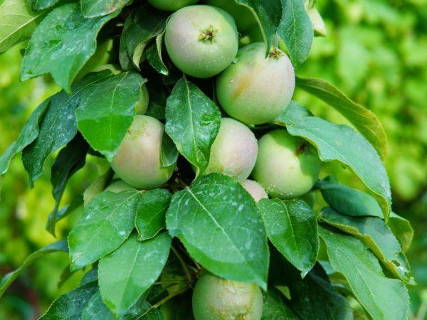 Плоды можно собирать в конце августа