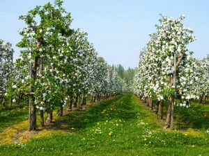 Яблоня Конфетное — особенности сорта