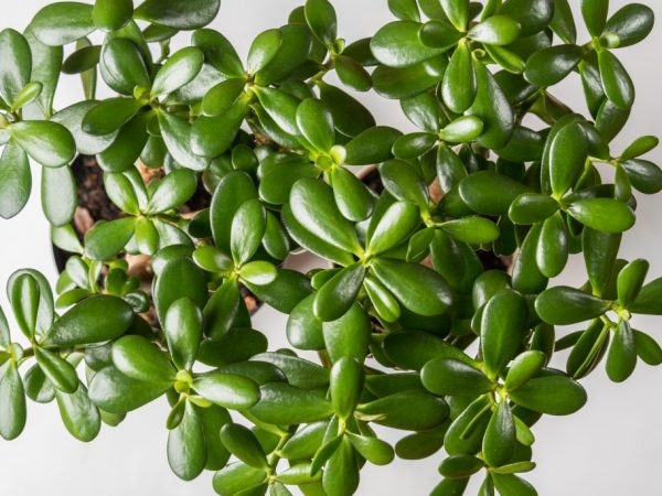 Растению нужен специальный грунт для суккулентов