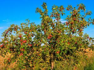 Яблоня Лесная (Дикая) — описание сорта