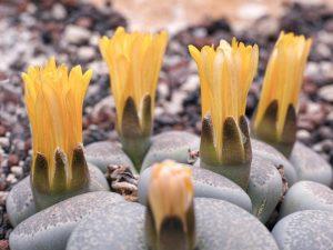 Экзотические камни-цветы: тонкости выращивания в домашних условиях