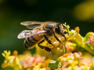 Мед с молочая — полезные свойства и противопоказания