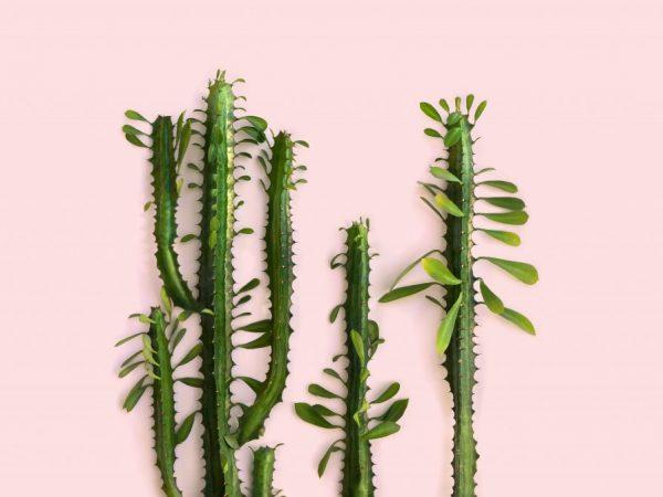 Для деления подходит взрослое растение