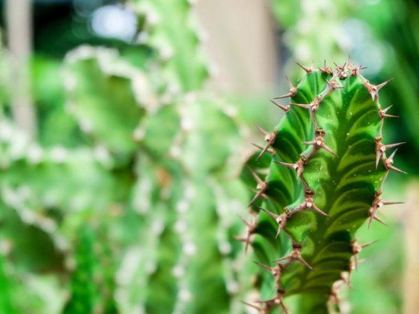 Растение можно черенковать