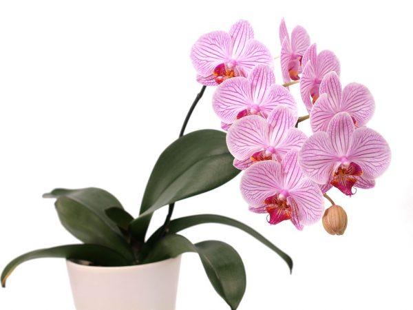 Орхидею нельзя держать в спальне