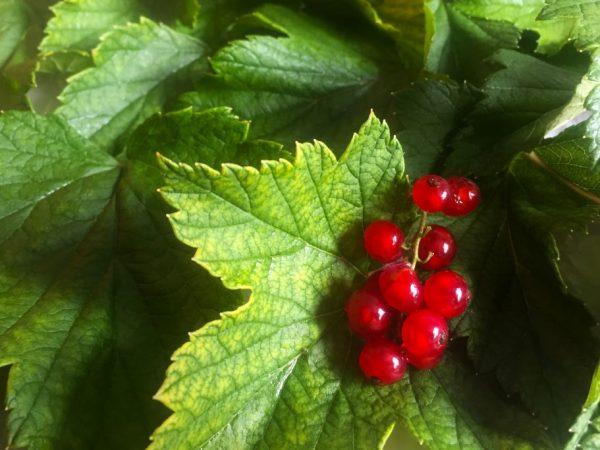 Как обрезать смородину осенью — советы начинающим садоводам