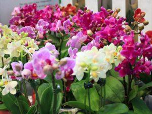 Орхидея фаленопсис Бабочка — самые эффектные разновидности