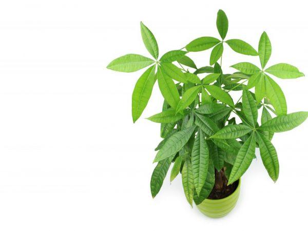 Растение рекомендуется покупать в питомниках