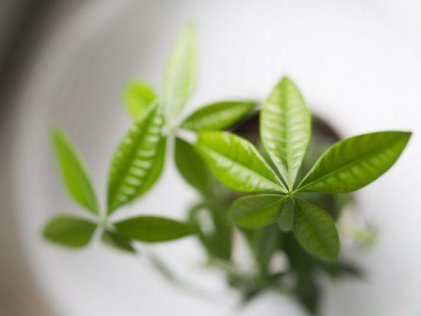 При хорошем уходе растение почти не болеет