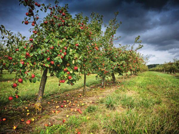 Яблоня Память Мичурина — всё о сорте и особенностях выращивания