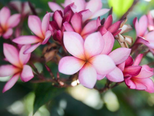 Плюмерия — особенности ухода за Гавайским цветком