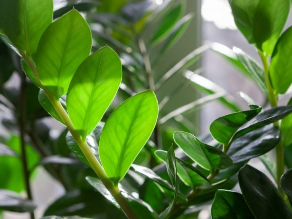 Зимой растение поливают раз в месяц