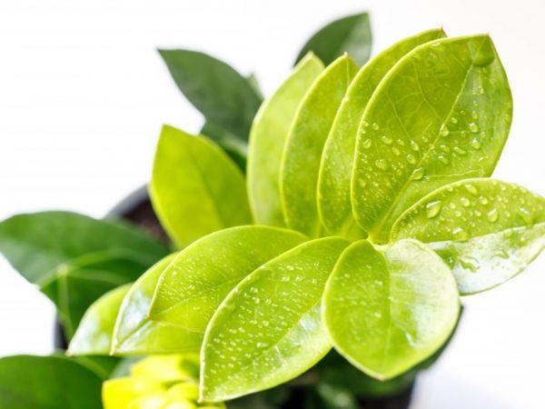 растение выделяет жидкость при повышенной влажности