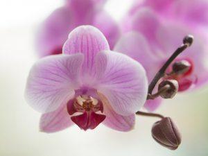 Почему у орхидеи опадают бутоны и что с этим делать