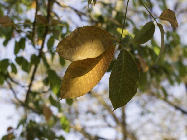 Желтеют листья у фикуса — как помочь растению
