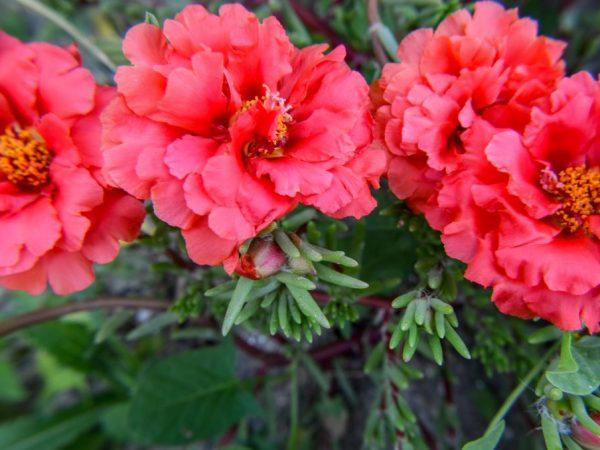 Портулак махровый крупноцветковый — описание цветка и правила выращивания