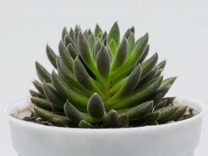 Синокрассула Юннаньская— красивый миниатюрный суккулент