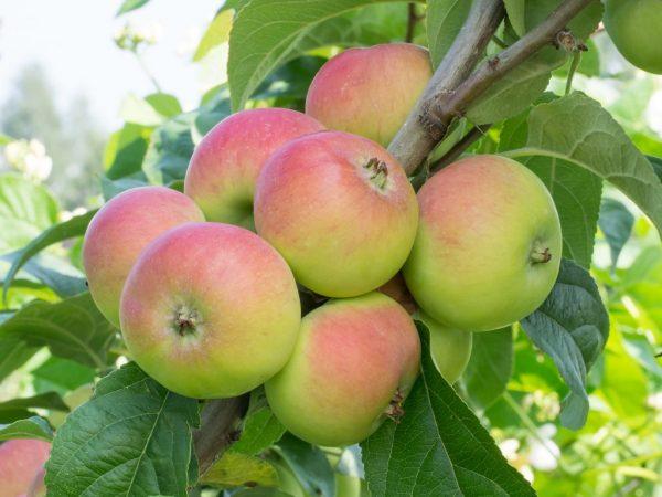 Плоды летних сортов не подлежат хранению