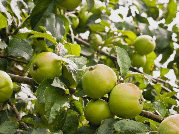 Яблони в Ленинградской области — лучшие урожайные сорта