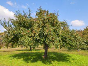 Яблоня Свежесть — гордость отечественной селекции