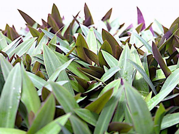 Пересаживают растения в стадии покоя