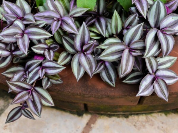 Традесканция Зебрина — правила выращивания