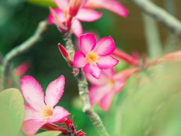 Как вырастить Адениум из семян — простая схема