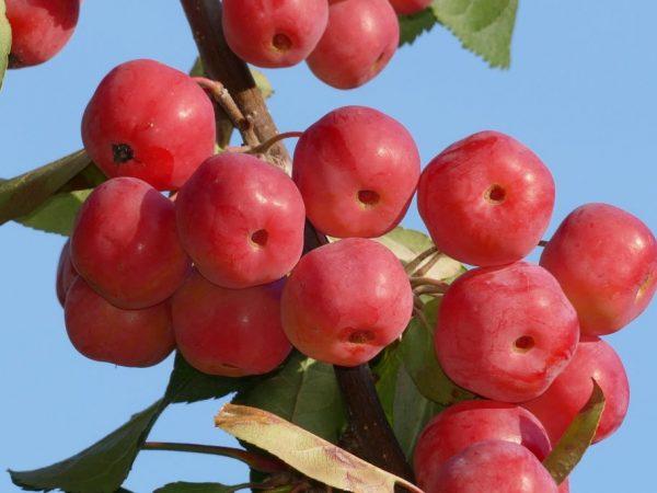 Яблоня Ягодная — декоративная культура