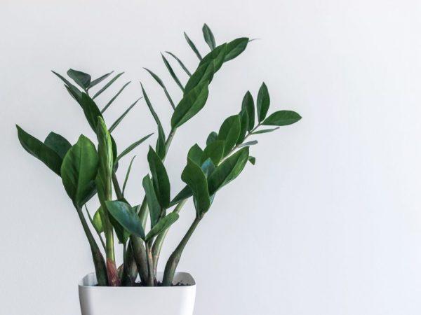 Карликовый замиокулькас Зензи — эффектное растение