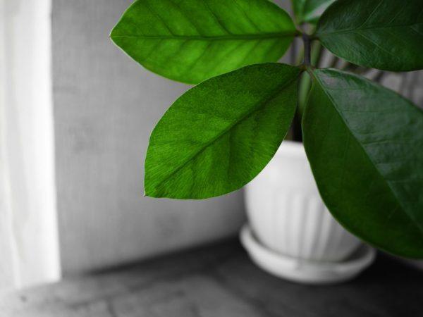 Земля для замиокулькаса — правила выбора и подготовки грунта