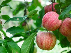 Яблоки Фуджи — посадка и уход