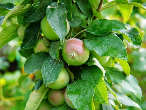 Колоновидные яблони занимают мало места