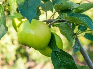 Колоновидные яблони для Подмосковья — описание сортов
