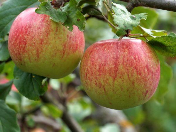 Яблоня Мантет — характеристика сорта