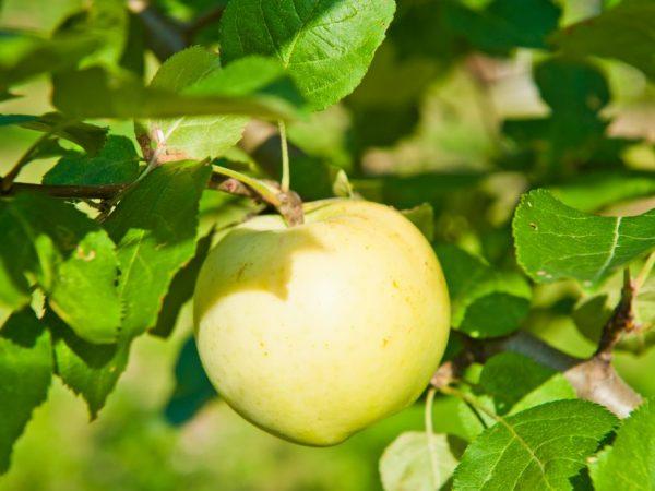 Яблоня Народное — особенности выращивания