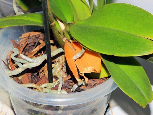 У орхидеи опали все листья: что делать с фаленопсисом, причины