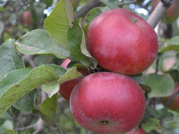 Красные яблоки — описание лучших сортов