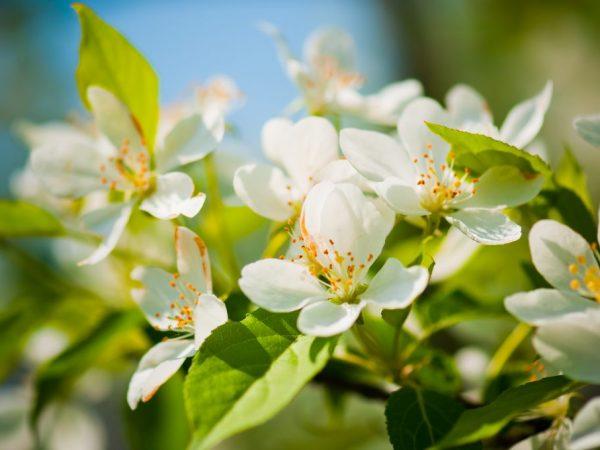 Яблоню обильно поливают четыре раза за сезон