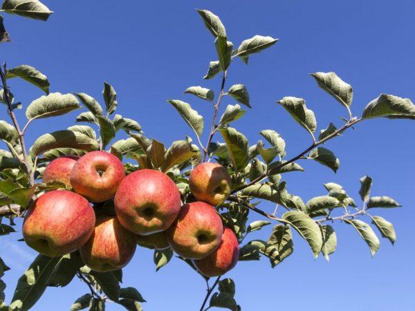 За яблоней легко ухаживать