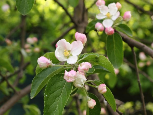Сорт яблони Розовый налив — правила выращивания