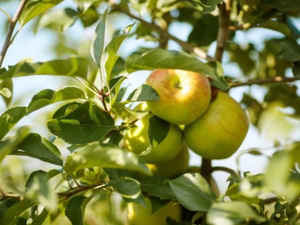 Сорта яблони для Урала — обзор лучших