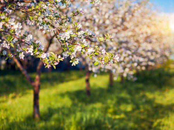 Яблоня Апорт — сортовые особенности